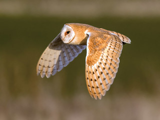 Barn Owl - Tyto alba | by normanwest4tography