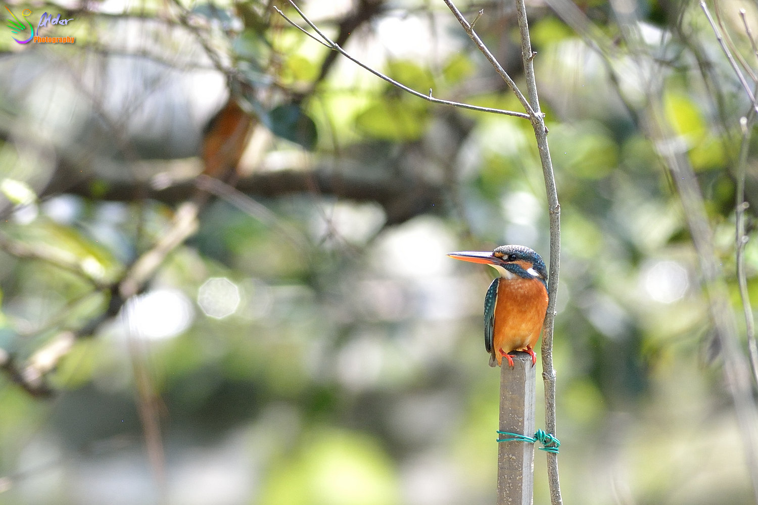 Common_Kingfisher_4607