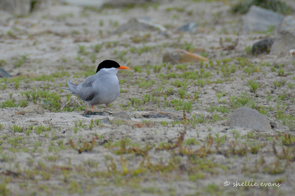 Black-fronted Tern/Tarapirohe