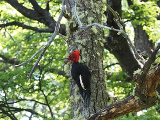 Carpintero Gigante - Robust Woodpecker - Scharlachkopfspecht | by nyffy