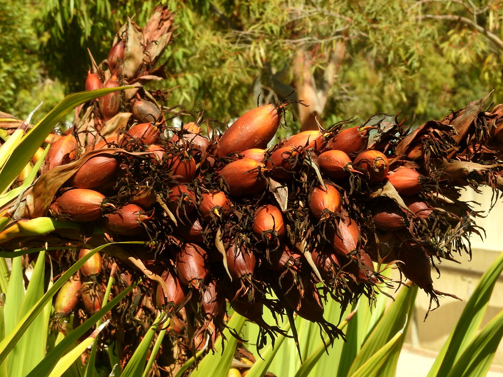 Doryanthes excelsa seed pods | The Australian Garden, Cranbo… | Flickr