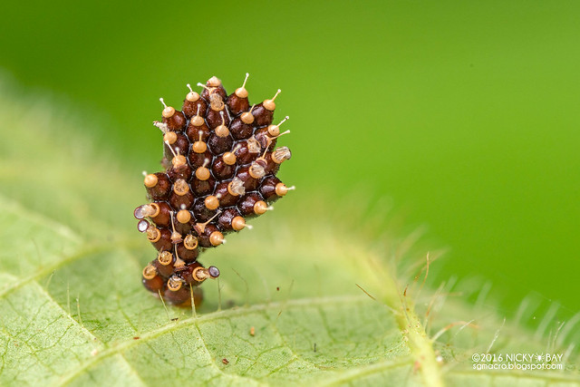 Assassin bug eggs (Harpactorinae) - DSC_0653