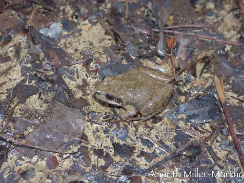 Mountain Chorus Frog | by Ananth Miller-Murthy