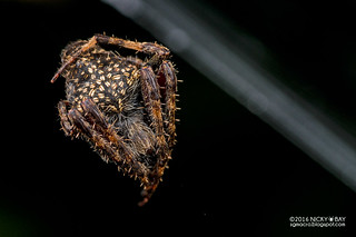 Orb weaver spider (Neoscona sp.) - DSC_8924