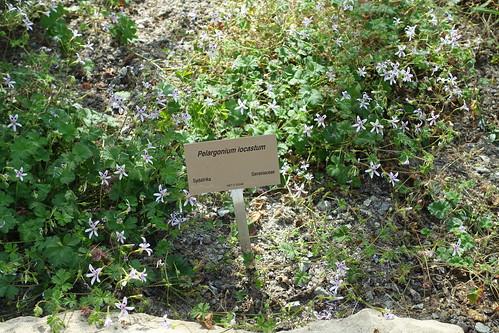 Pelargonium iocastum