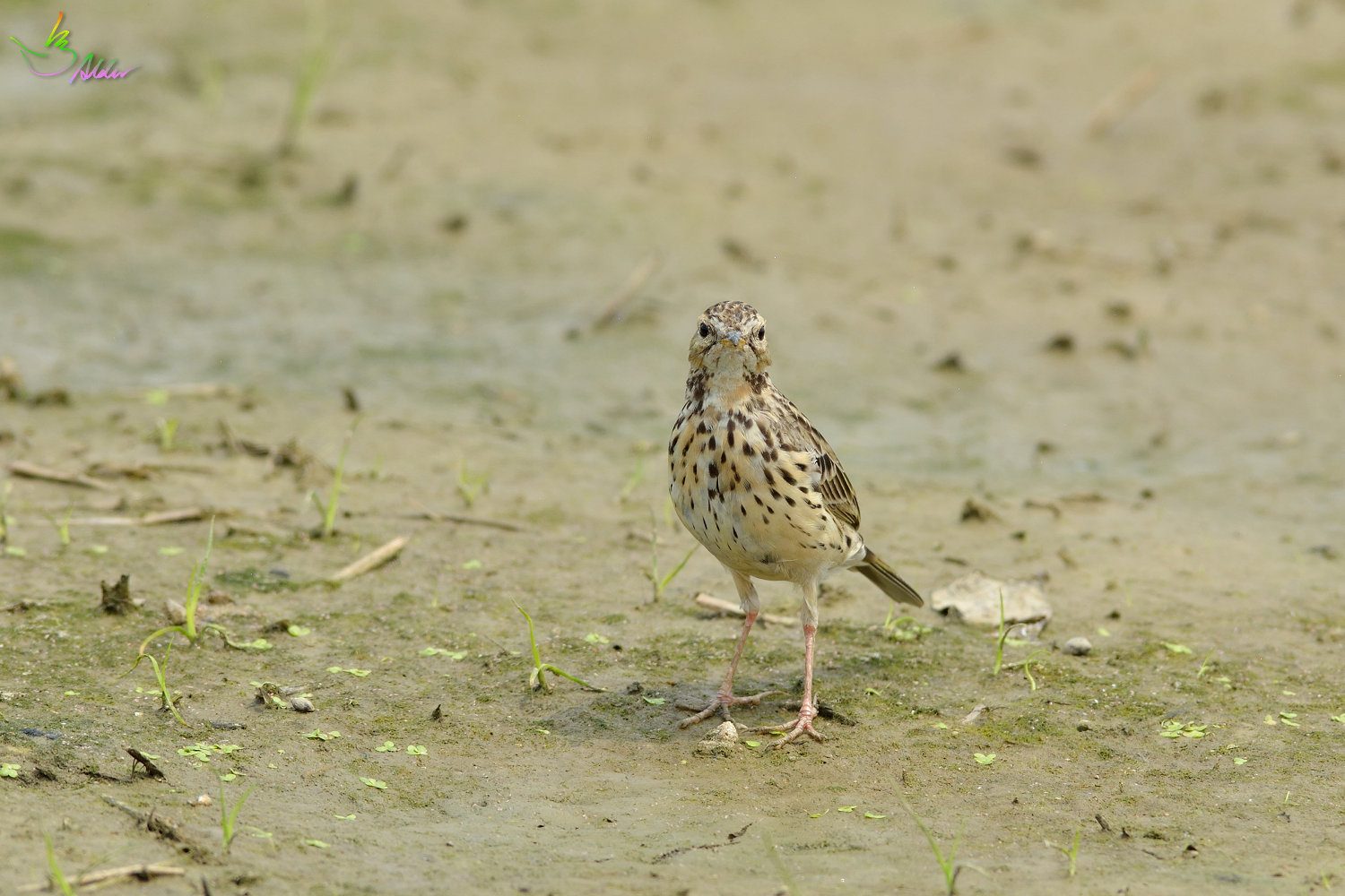Red-throated_Pipit_3581