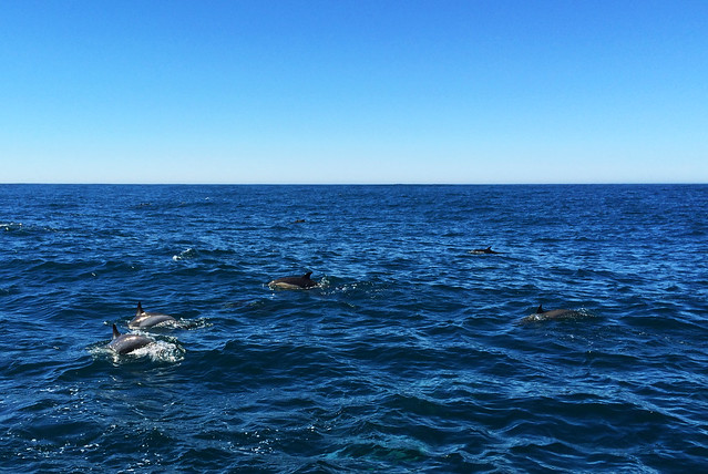 Dolphins in Monterey Bay, California, USA