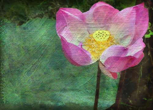 Pink lotus flower on the Mekong in Vietnam apped in Waterlogue and Stackables