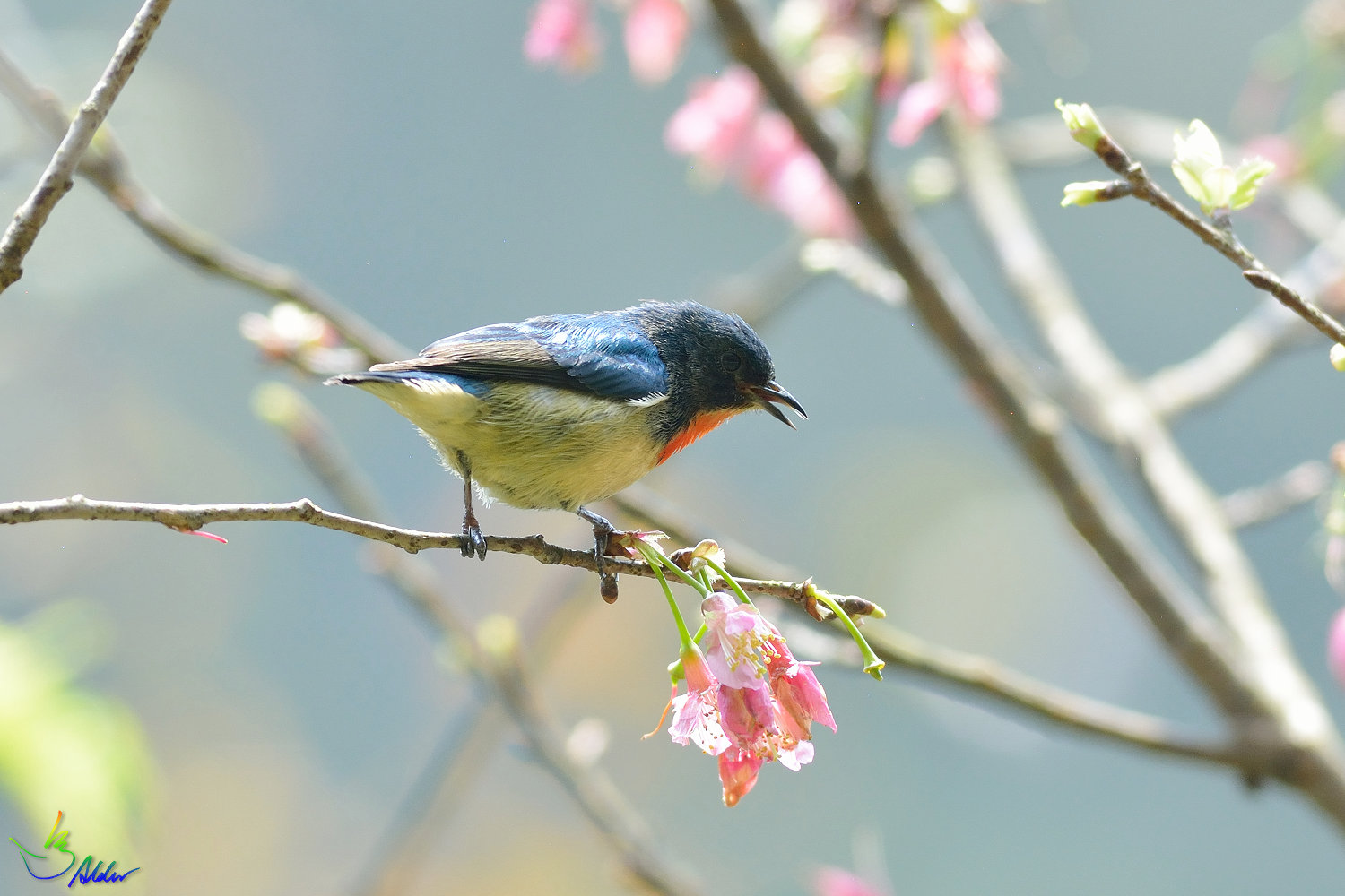 Fire-breasted_Flowerpecker_1614