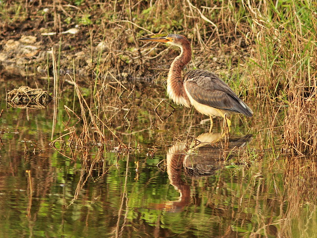 Tricolored Heron immature 20160118