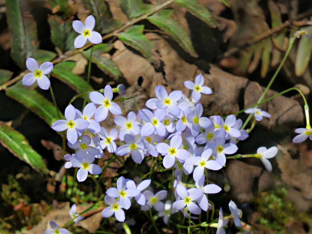 Houstonia Flower