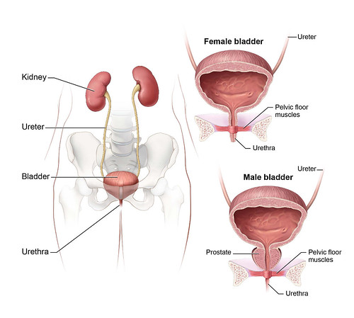 Urinary System An Illustration Of The Male And Female Huma Flickr