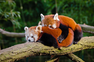 Red Pandas | by Mathias Appel