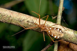 Assassin bug (Reduviidae) - DSC_6351