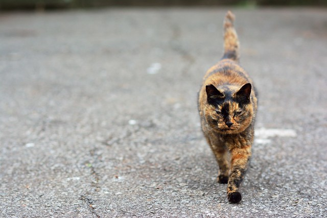 歩きながら近づいてくるネコの写真