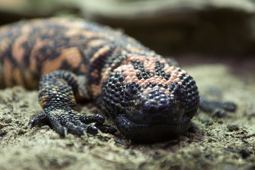 Gila Monster | by FurLined