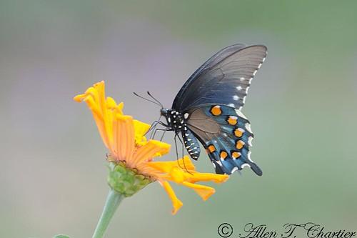 Battus philenor (Pipevine Swallowtail)