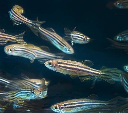 Zebrafish | by Oregon State University