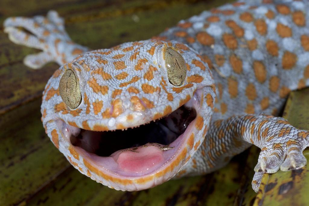tokay gecko two nonnative tokay geckos gekko gecko were flickr