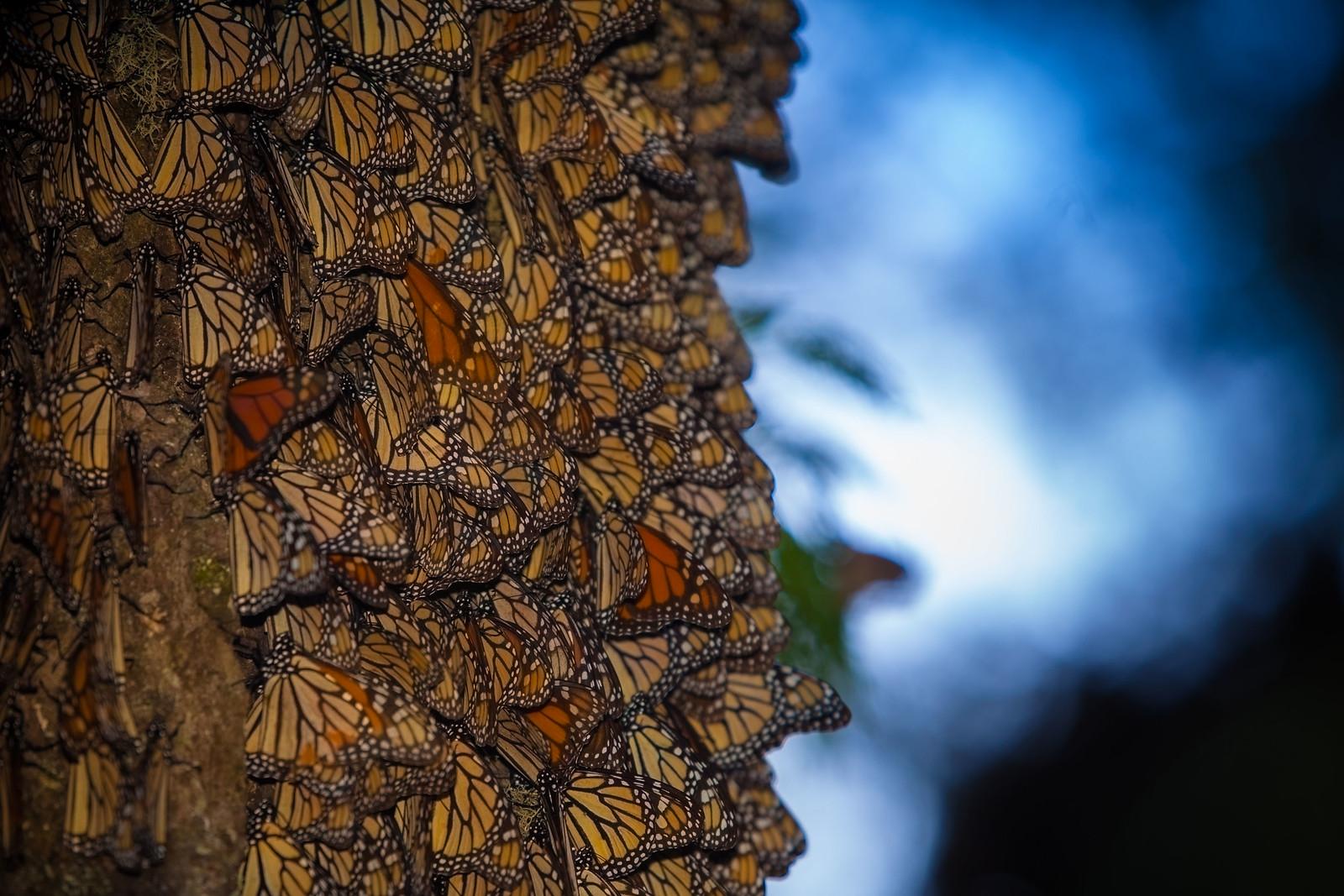 Racimos de  Mariposa Monarca | by Körín Yavé