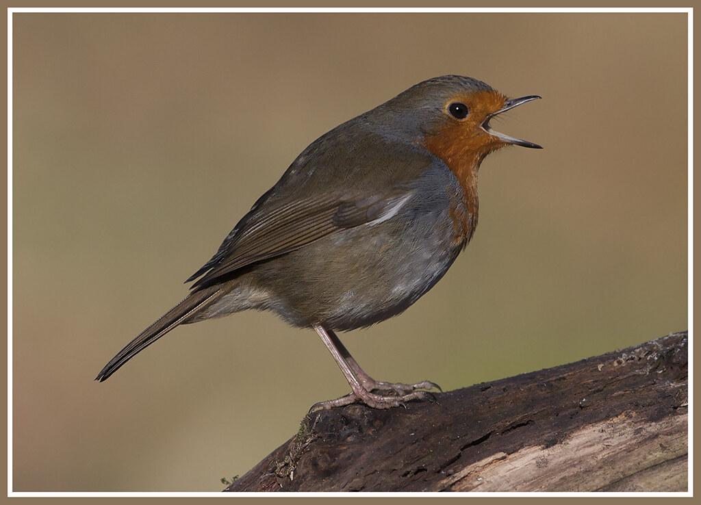 The European Robin 24965023520_afe15c4af4_b