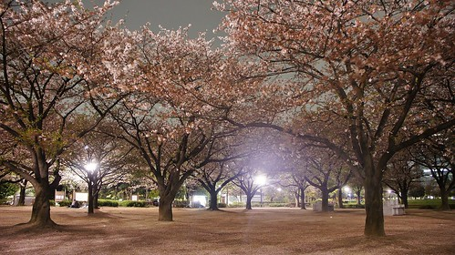 Kiba Park Cherry Blossom Illumination | by Manish Prabhune