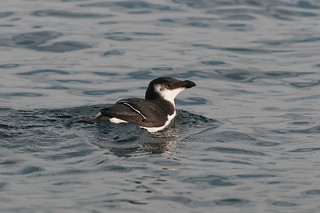 Young Razorbill | by martytdx