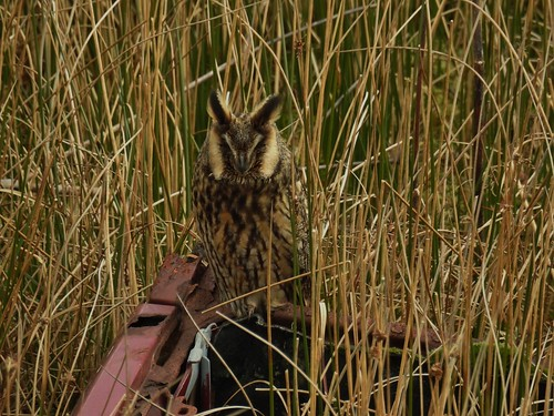 Long-Eared Owl in Rossendale, Lancashire, England - February 2016