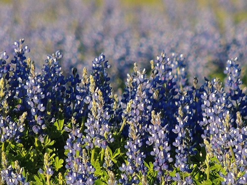Bluebonnets of Texas Spring | by maorlando - God keeps me as I lean on Him!!