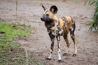 African wild dog | by Mathias Appel