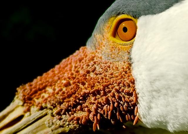 Wattled Crane (Bugeranus carunculatus)_17