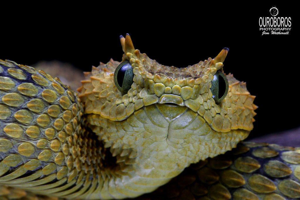 Usambara Eyelash Viper Atheris Ceratophora Female Jim
