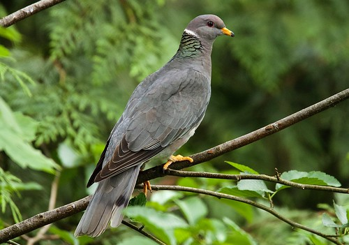 Band-Tailed Pigeon | by jerrygabby1