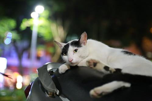 スクーターの上でくつろぐ台湾の猫の写真