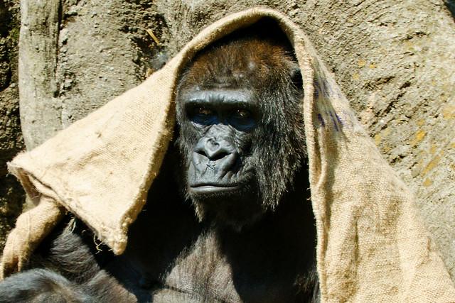 Western Lowland Gorilla, Piko of Ueno Zoo : 上野動物園ニシローランドゴリラのピーコ