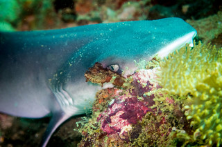 Nurse shark - Ko Lipe diving via TinyBlackBird.com | by yohansen_v