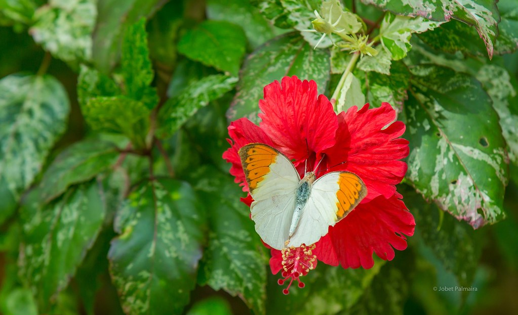 ... Butterfly On A Red Gumamela Flower | By Jo Bet
