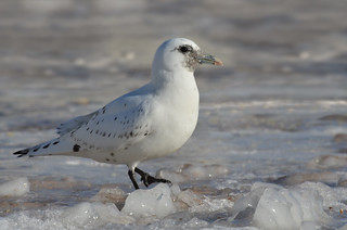 Ivory Gull | by malcolmgold