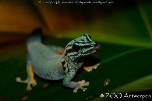 azuurblauwe daggekko   lygodactylus williamsi   turquoise