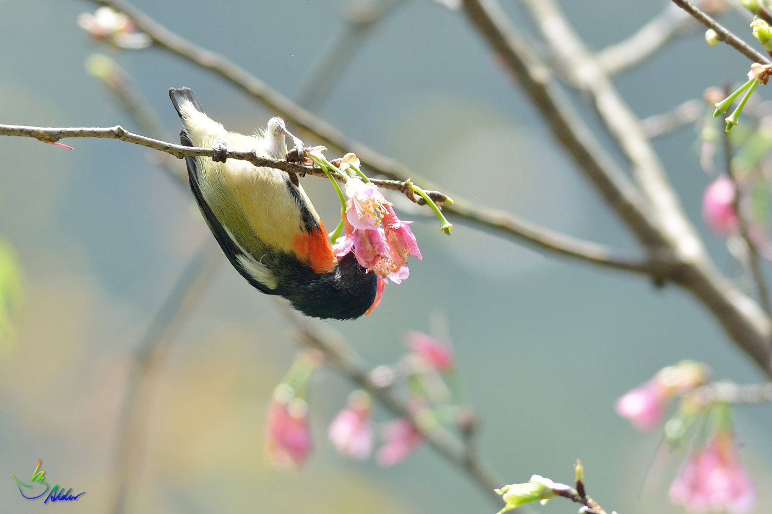 Fire-breasted_Flowerpecker_1610