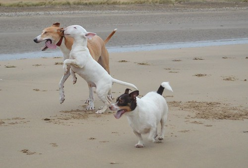 Dogs on Crimdon Beach | by ZoqyPhoto