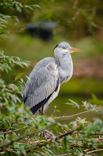 Grey heron | by Mathias Appel