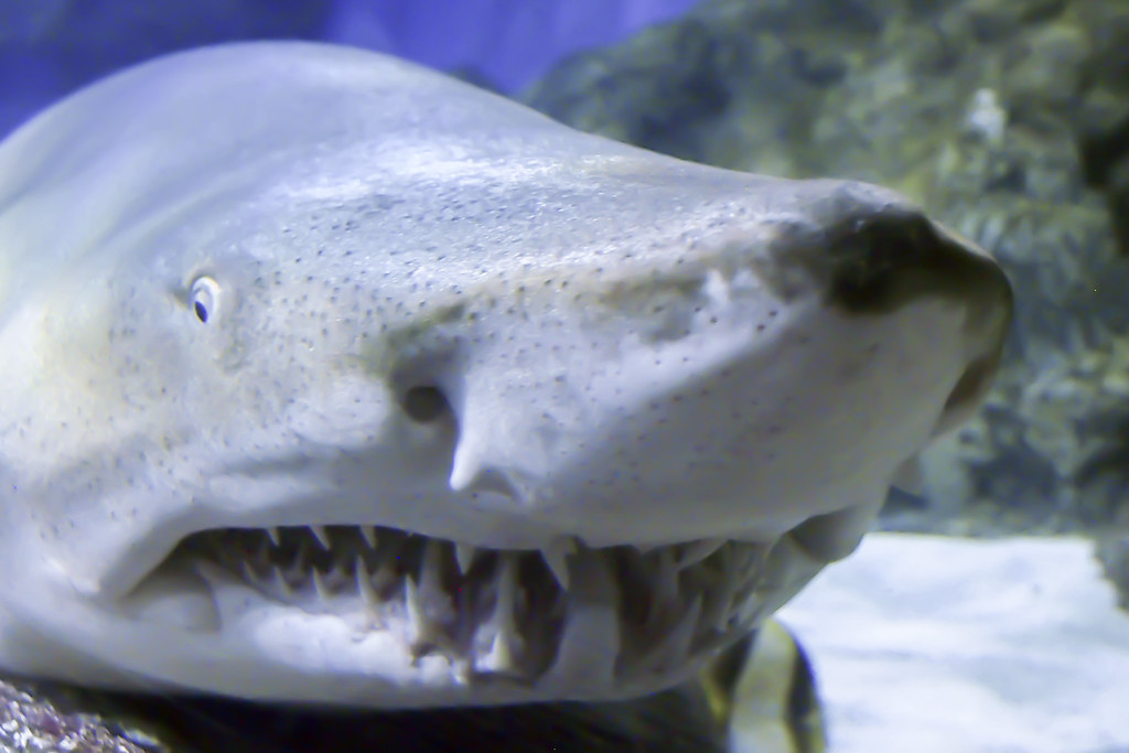 Sand shark sand sharks also known as sand tiger sharks g flickr sand shark by charliebubbles sand shark by charliebubbles publicscrutiny Image collections