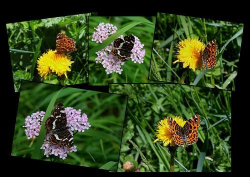 fil(et) à papillons - Page 12 25612163401_5079c63e06