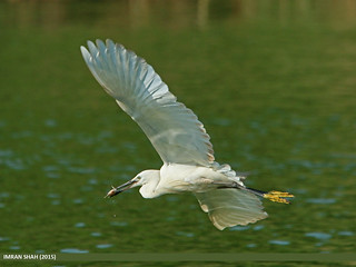 Little Egret (Egretta garzetta), Pakistan Pakistan