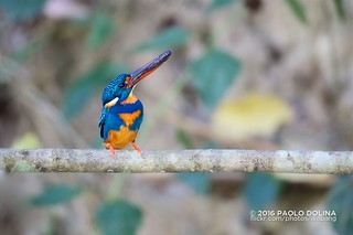 Indigo-banded kingfisher (Ceyx cyanopectus) | by alabang