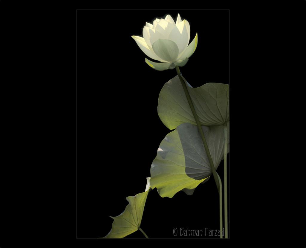 White Lotus Flower And Backlit Leaf On Black Background Flickr