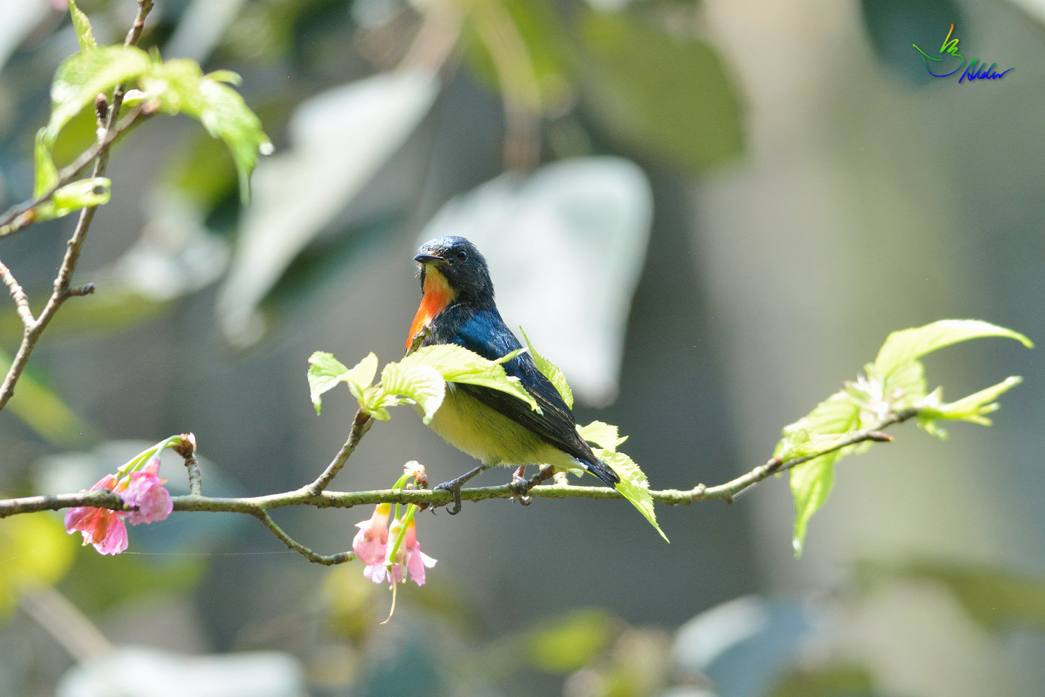 Fire-breasted_Flowerpecker_1396