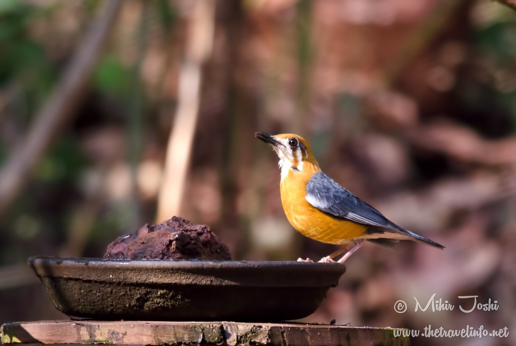 Orange-headed Ground Thrush