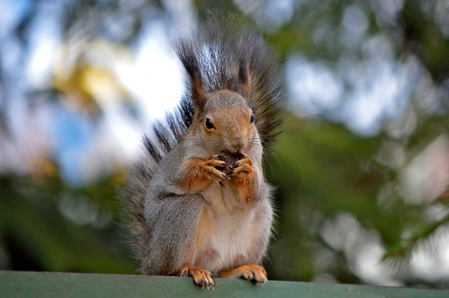- Look at my beautiful manicure! :-) #Squirrel | by L.Lahtinen (nature photography)
